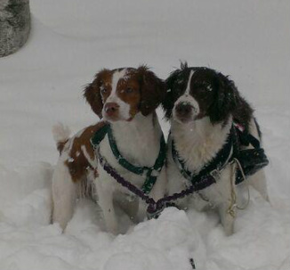 Oudi and Bogey enjoying winter skijoring